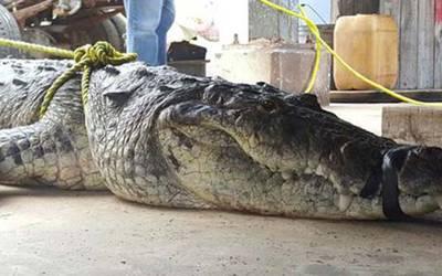 Reintegran tres cocodrilos a su hábitat en Madero