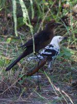 Investigan anormalidades pigmentarias de aves de Tamaulipas